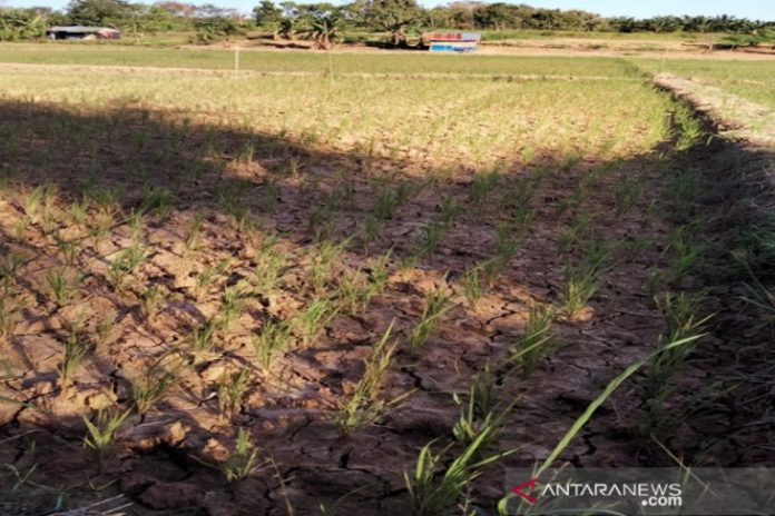 Tanaman padi di sebagian wilayah Kotabaru terancam gagal panen. (antara)